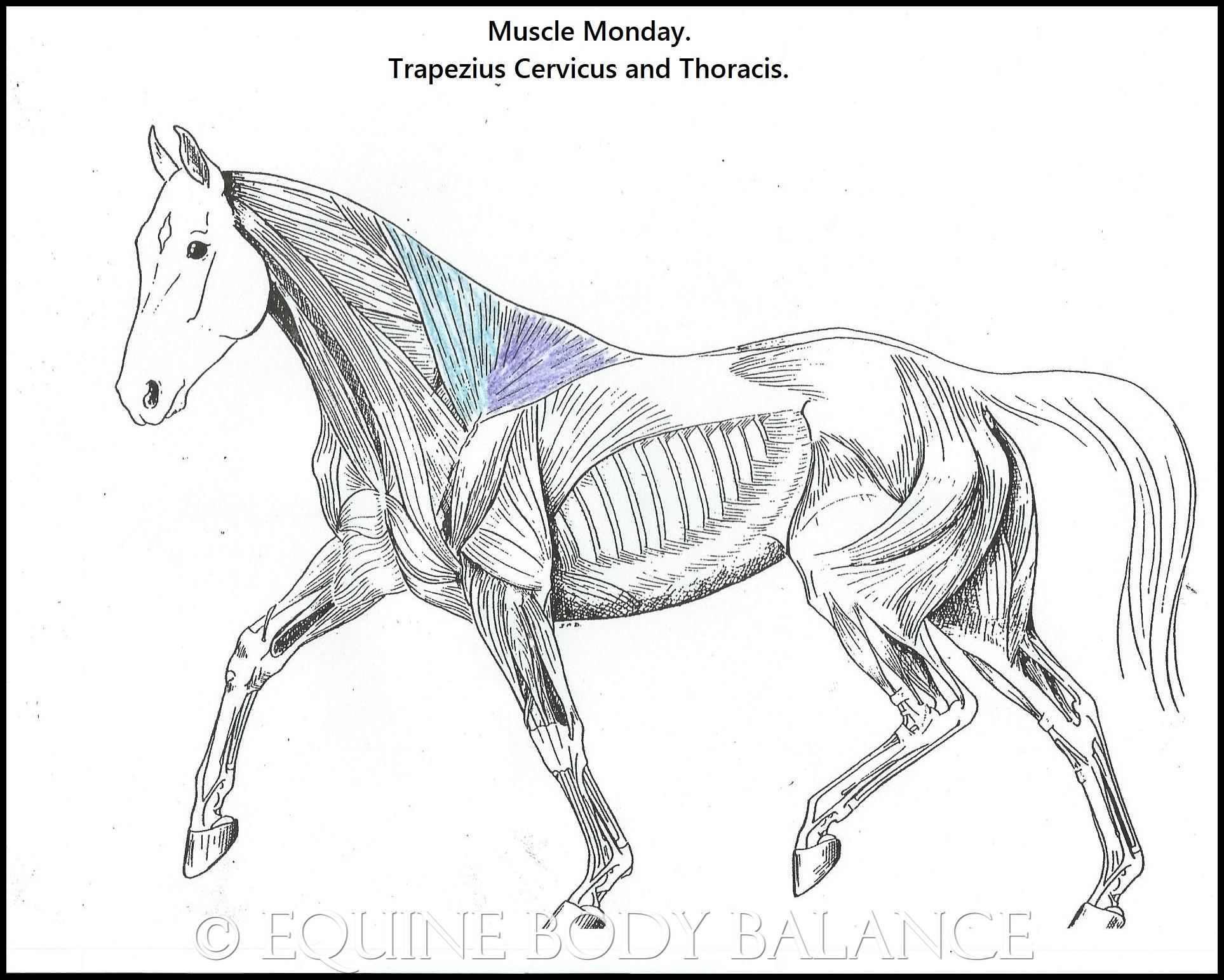 muscle monday  equine trapezius